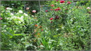 Flori si gradini - Pagina 31 IMG_1326