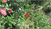 Flori si gradini - Pagina 31 IMG_1330