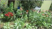 Flori si gradini - Pagina 31 IMG_1332