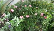 Flori si gradini - Pagina 31 IMG_1335