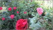 Flori si gradini - Pagina 31 IMG_1300