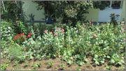 Flori si gradini - Pagina 31 IMG_1307