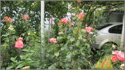 Flori si gradini - Pagina 31 IMG_1402