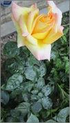 Flori si gradini - Pagina 31 IMG_1317