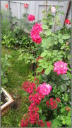 Flori si gradini - Pagina 31 IMG_1393