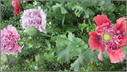 Flori si gradini - Pagina 31 IMG_1354