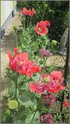 Flori si gradini - Pagina 31 IMG_1362