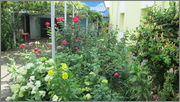 Flori si gradini - Pagina 31 IMG_1367