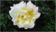 Flori si gradini - Pagina 31 IMG_1403