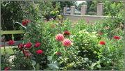 Flori si gradini - Pagina 31 IMG_1329