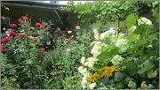 Flori si gradini - Pagina 31 IMG_1322