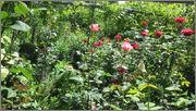 Flori si gradini - Pagina 31 IMG_1319