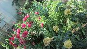 Flori si gradini - Pagina 31 IMG_1302