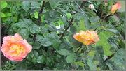 Flori si gradini - Pagina 31 IMG_1397