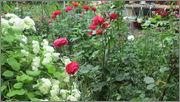 Flori si gradini - Pagina 31 IMG_1388