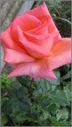 Flori si gradini - Pagina 31 IMG_1318