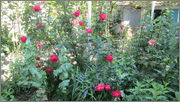 Flori si gradini - Pagina 31 IMG_1298