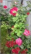 Flori si gradini - Pagina 31 IMG_1385