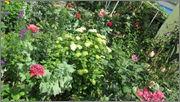Flori si gradini - Pagina 31 IMG_1334