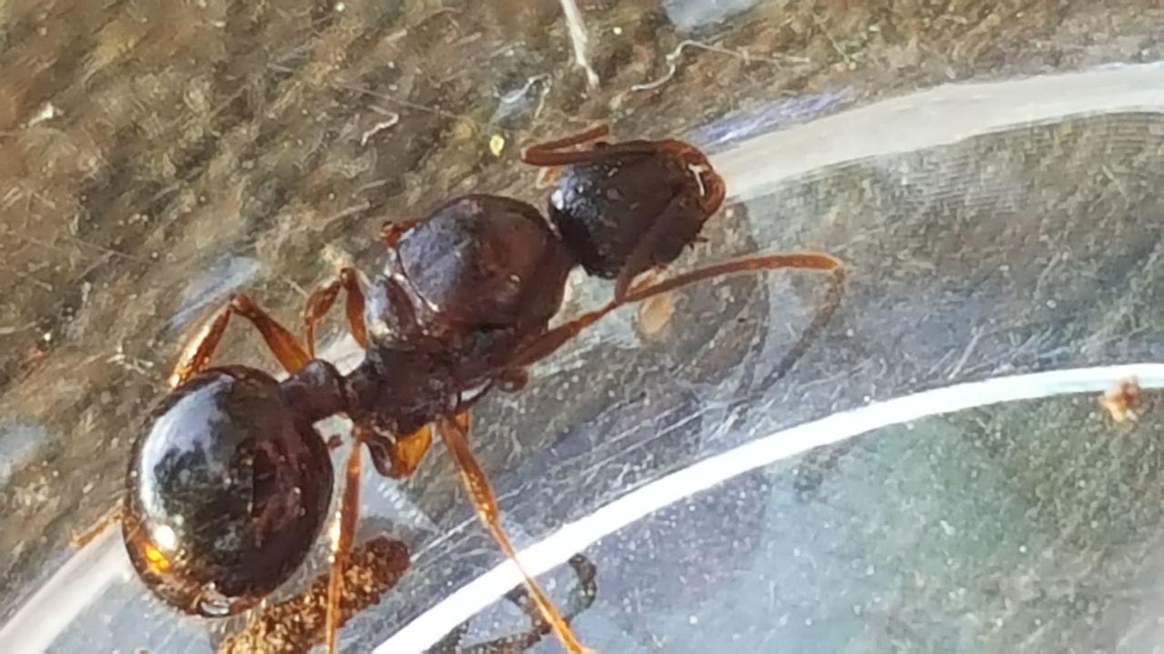 Aphaenogaster picea Ant Care Sheet 20160602_200321