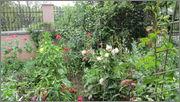 Flori si gradini - Pagina 31 IMG_1400