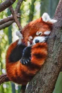 Celia's Fun Thread!!!! - Page 2 Red_Panda_sleepybyes