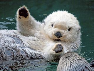 Celia's Fun Thread!!!! - Page 2 Sea_otter_cutey