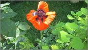 Flori si gradini - Pagina 31 IMG_1294