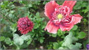 Flori si gradini - Pagina 31 IMG_1350
