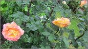 Flori si gradini - Pagina 31 IMG_1396