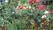 Flori si gradini - Pagina 31 IMG_1389