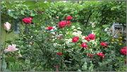 Flori si gradini - Pagina 31 IMG_1321