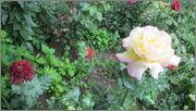 Flori si gradini - Pagina 31 IMG_1399