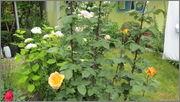 Flori si gradini - Pagina 31 IMG_1383