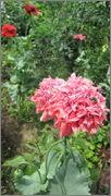 Flori si gradini - Pagina 31 IMG_1346