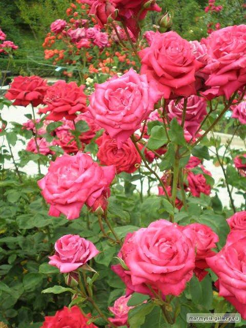 Крым. Никитский ботанический сад. - Страница 2 F25a51f3de55