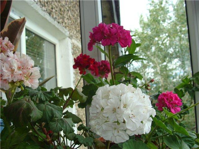Весеннее  цветение (Хваст от Веры) - Страница 2 1af3cc485d66