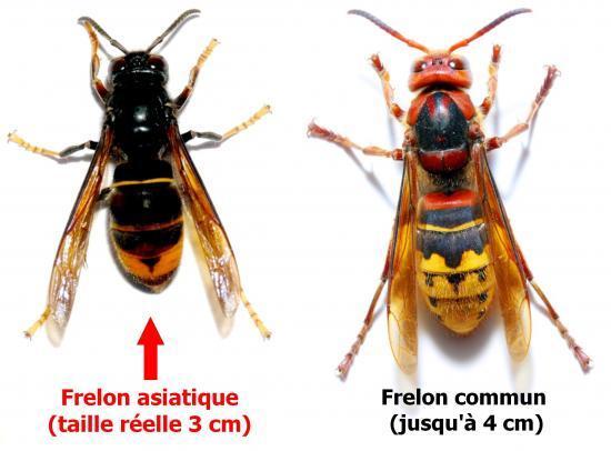 Frelon d'asie et d'ailleurs Difference-frelon-01