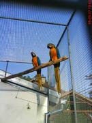 Ara papagaji 4_3ZS