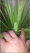 Mrazuodolné juky - rod Yucca - Stránka 3 Yt1_1