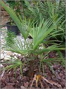 Trachycarpus a jeho hybridy (kříženci) DSCF1374