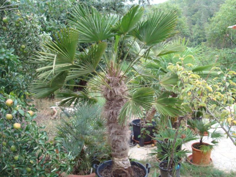 Trachycarpus fortunei var. Wagnerianus - Stránka 2 DSC06056