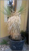Mrazuodolné juky - rod Yucca - Stránka 3 Yt2_2