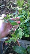 Olea europaea - olivovník evropský WP_20150613_008