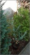Eucalyptus WP_20150613_014