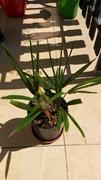 Variety Trachycarpusu fortunei - Stránka 3 20160825_122333_1