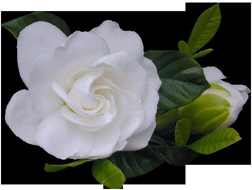 Клипарты: цветы - Страница 3 JF3eq