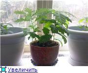 Выращивание дубов или Мои дубы 4b00f892d097t
