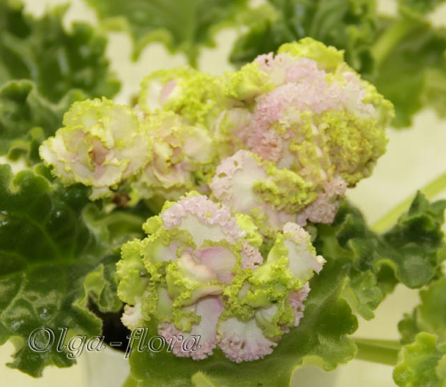 Irish Cream   (LLG/S. Sorano) - Страница 2 948c3f59267c