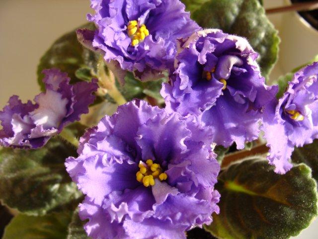 Мои цветочки - Страница 5 5170610c0a8d
